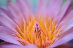 Γύρη Lotus Στοκ Φωτογραφίες
