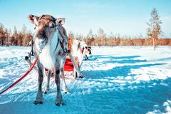 Γύρος ελκήθρων ταράνδων, στο δάσος χειμερινού χιονιού στο φινλανδικό αγρόκτημα Saami στο Ροβανιέμι, Φινλανδία, Lapland στα Χριστο στοκ εικόνα με δικαίωμα ελεύθερης χρήσης