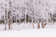 Γύρος ελκήθρων ταράνδων στο Lapland στοκ φωτογραφίες