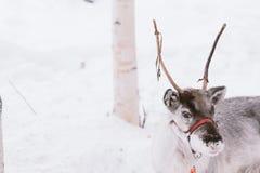 Γύρος ελκήθρων ταράνδων στο Lapland Στοκ εικόνα με δικαίωμα ελεύθερης χρήσης