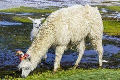 Γύρος Uyuni γύρω από τις λίμνες και τα ηφαίστεια των βολιβιανών Άνδεων ένα καταπληκτικό ταξίδι στοκ φωτογραφίες με δικαίωμα ελεύθερης χρήσης