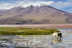 Γύρος Uyuni γύρω από τις λίμνες και τα ηφαίστεια των βολιβιανών Άνδεων ένα καταπληκτικό ταξίδι στοκ φωτογραφία