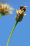 γύρω από τα λουλούδια μελισσών Στοκ Εικόνες