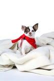 γύρω από το κόκκινο s σκυλιών κορδελών μικρό λευκό λαιμών στοκ φωτογραφία με δικαίωμα ελεύθερης χρήσης