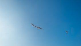 Γλάροι που πετούν σε έναν μπλε ουρανό το καλοκαίρι Στοκ Εικόνες
