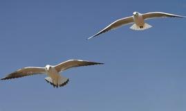 Γλάροι που πετούν στο μπλε ουρανό Στοκ Φωτογραφίες