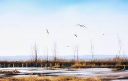 Γλάροι στη λίμνη ανοίξεων στον τομέα Στοκ Φωτογραφία