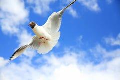 Γλάροι στον ουρανό Στοκ φωτογραφίες με δικαίωμα ελεύθερης χρήσης