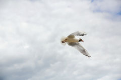 Γλάροι στον ουρανό Στοκ Φωτογραφίες