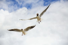 Γλάροι στον ουρανό Στοκ Εικόνες