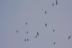 γλάροι των μαύρος-heade-Μαύρων κατά την πτήση - & x28 Chroicocephalus ridibundus& x29  Στοκ φωτογραφία με δικαίωμα ελεύθερης χρήσης