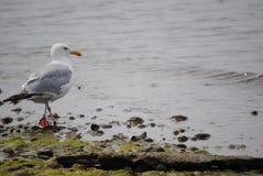 Γλάρος νησιών καταφυγίων Στοκ εικόνα με δικαίωμα ελεύθερης χρήσης