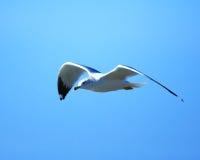 Γλάρος ποταμών κατά την πτήση στοκ εικόνες με δικαίωμα ελεύθερης χρήσης
