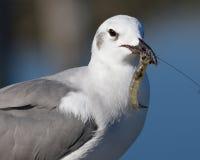 Γλάρος που τρώει τις γαρίδες Στοκ εικόνα με δικαίωμα ελεύθερης χρήσης