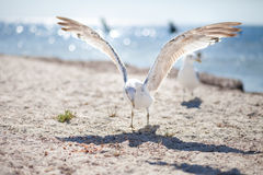 Γλάρος στην παραλία Στοκ Εικόνες