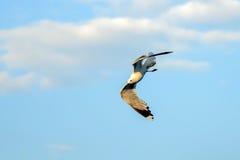 Γλάρος στον ουρανό Στοκ φωτογραφία με δικαίωμα ελεύθερης χρήσης