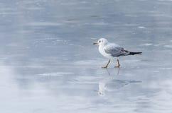 Γλάρος στον πάγο Στοκ Εικόνες