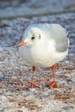 Γλάρος το χειμώνα Στοκ εικόνα με δικαίωμα ελεύθερης χρήσης