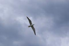 γλάρος Στοκ Φωτογραφία