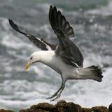 Γλάρος Blackback Στοκ φωτογραφία με δικαίωμα ελεύθερης χρήσης