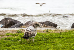 Γλάρος Earthbound Στοκ φωτογραφίες με δικαίωμα ελεύθερης χρήσης