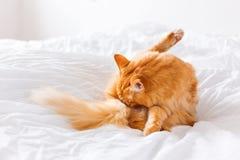 Γλείψιμο γατών πιπεροριζών, που βρίσκεται στο κρεβάτι Χαριτωμένο άνετο υπόβαθρο Στοκ φωτογραφίες με δικαίωμα ελεύθερης χρήσης