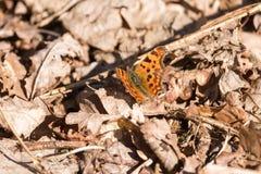 Γ-λεύκωμα Polygonia πεταλούδων κομμάτων Στοκ Εικόνες