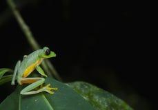Γλιστρώντας βάτραχος φύλλων στοκ φωτογραφία με δικαίωμα ελεύθερης χρήσης