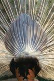 Γλουτός Peacock στοκ εικόνες