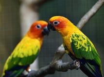 Γλυκά ζευγάρια του ήλιου parakeet ή conure & x28 ήλιων Solstitialis Aratinga Στοκ Εικόνα