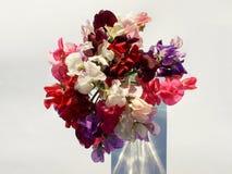 Γλυκά λουλούδια μπιζελιών που απομονώνονται στο άσπρο υπόβαθρο στοκ εικόνα με δικαίωμα ελεύθερης χρήσης
