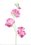 Γλυκά λουλούδια μπιζελιών Watercolor στο άσπρο υπόβαθρο Στοκ Εικόνες