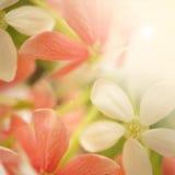 Γλυκά λουλούδια χρώματος στο μαλακό και ύφος θαμπάδων Στοκ εικόνες με δικαίωμα ελεύθερης χρήσης