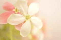 Γλυκά λουλούδια χρώματος στο μαλακό ύφος στη σύσταση εγγράφου μουριών Στοκ Εικόνα