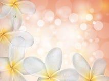 Γλυκά λουλούδια Plumeria (frangipani) με το πορφυρό bokhe Στοκ Εικόνες