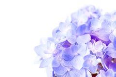 Γλυκά πορφυρά μπλε λουλούδια hydrangea σε ένα άσπρο υπόβαθρο, sel Στοκ Εικόνες