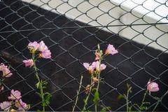 Γλυκά ρόδινα λουλούδια ακρών του δρόμου χρώματος που αυξάνονται στο φράκτη συνδέσεων αλυσίδων Στοκ Εικόνες