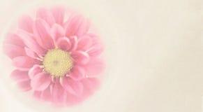 Γλυκά ρόδινα λουλούδια χρυσάνθεμων στο μαλακό και θολωμένο ύφος Στοκ φωτογραφίες με δικαίωμα ελεύθερης χρήσης
