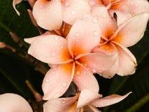 Γλυκά ρόδινα λουλούδια Plumelia Στοκ Εικόνα