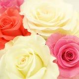 Γλυκά τριαντάφυλλα χρώματος στο μαλακό ύφος χρώματος και θαμπάδων Στοκ φωτογραφίες με δικαίωμα ελεύθερης χρήσης