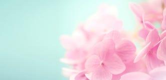 Γλυκά hydrangeas πετάλων χρώματος Στοκ Εικόνα