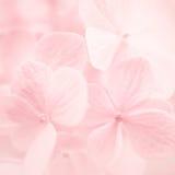 Γλυκά hydrangeas χρώματος στο μαλακό και ύφος θαμπάδων Στοκ φωτογραφίες με δικαίωμα ελεύθερης χρήσης