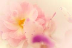 Γλυκές τριαντάφυλλα και ορχιδέα χρώματος στο μαλακό ύφος χρώματος και θαμπάδων Στοκ Εικόνα