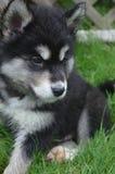 Γλυκιά γραπτή συνεδρίαση σκυλιών κουταβιών Alusky στοκ φωτογραφία με δικαίωμα ελεύθερης χρήσης