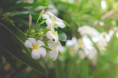 Γλυκιά μυρωδιά από τα άσπρα λουλούδια Plumeria στον κήπο Στοκ Εικόνα
