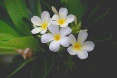 Γλυκιά μυρωδιά από τα άσπρα λουλούδια Plumeria στον κήπο Στοκ Φωτογραφίες