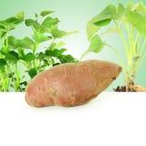γλυκιά πατάτα με την ανάπτυξη των εγκαταστάσεων στο πράσινο υπόβαθρο Στοκ Εικόνα
