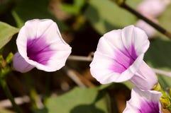 Γλυκιά πατάτα λουλουδιών Στοκ φωτογραφία με δικαίωμα ελεύθερης χρήσης