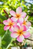 Γλυκιά ρόδινη δέσμη plumeria λουλουδιών και φυσικό υπόβαθρο Στοκ εικόνα με δικαίωμα ελεύθερης χρήσης