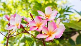 Γλυκιά ρόδινη δέσμη plumeria λουλουδιών και φυσικό υπόβαθρο Στοκ Εικόνες